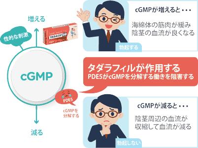 cGMPがPDE5活動を抑制しEDが発症